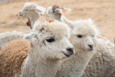 alpacas-at-creswick-woollen