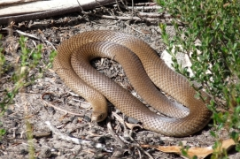 Eastern-Brown-Snake-shutterstock_44229733