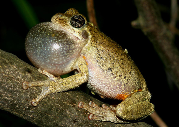 fig1graytreefrog