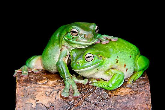 Funny australian green tree frog 2