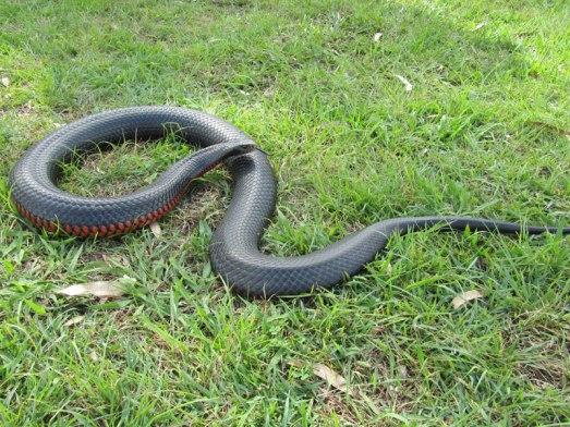 Red-bellied-Black-snake-info
