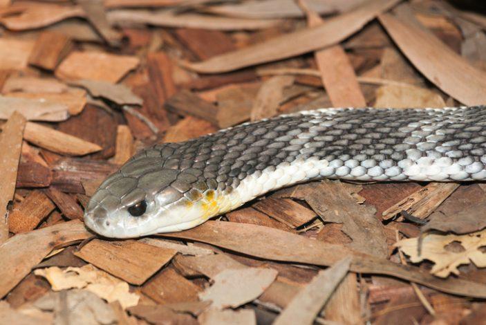 Tiger-snake-shutterstock_217195279-e1535756762167